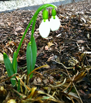 Prana and the Snow Drop